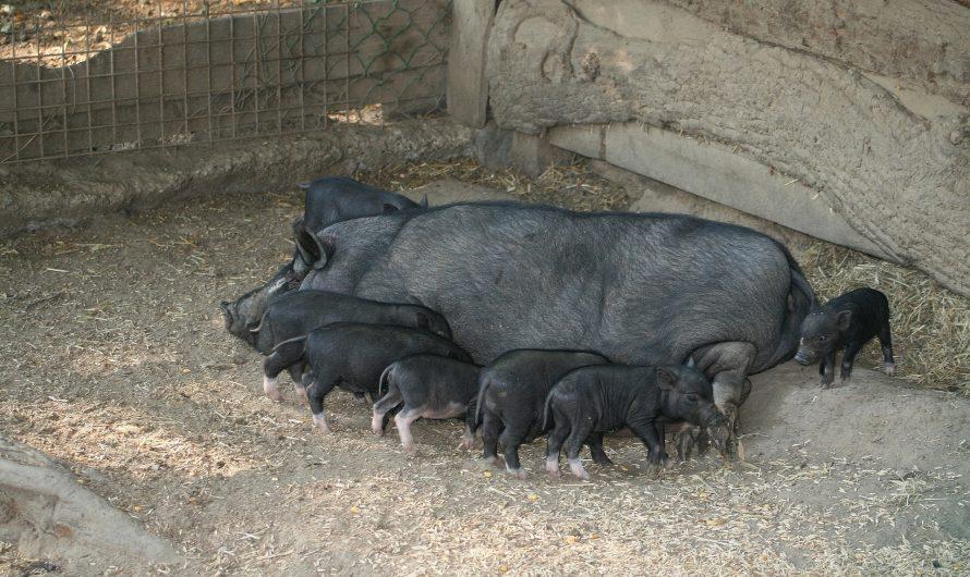La mejor manera de prevenir la caudofagia y la mordedura de colas en cerdos